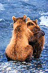 Bears congregating along salmon spawning rivers increase their tolerance for each other in order to share the fish bounty, McNeil River Bear Sanctuary, Alaska.