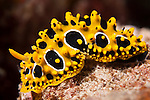 Taveuni, Fiji; an unknown yellow and black nudibranch, likely belonging to the Phyllidia sp. family