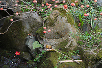 Red and white Edgeworthia chrysantha (Paper Bush) grows above rocks by the stream at the Hosen-in Temple gardens