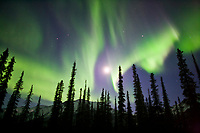 Aurora borealis over silhouetted spruce trees, Arctic,  Alaska.