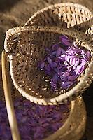 Europe/France/Midi-Pyrénées/46/Lot/Carayac:les fleurs de safran sont mises à sécher aprés récolte Ferme de M Pradines //  France, Lot, Carayac, Monsieur Pradines' farm,   the saffron flowers are dried after harvesting Farm M Pradines