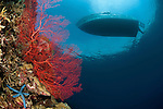 Bright gorgonian fan coral and blue starfish in the reef with a dive boat waiting at the surface
