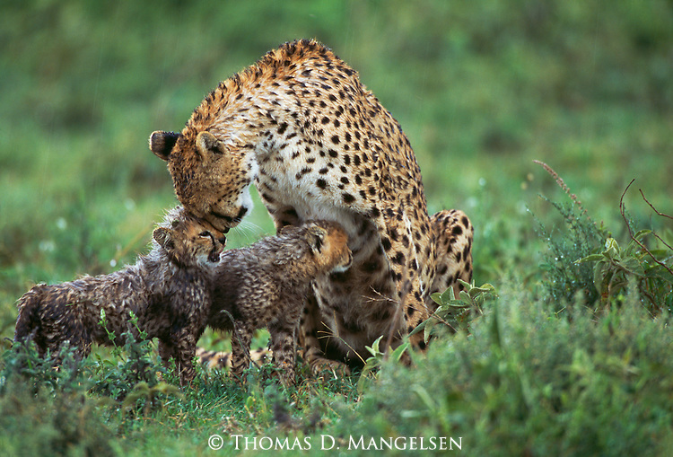 A mother cheetah nuzzles her cubs as they sit on the savannah in the rain in Tanzania.