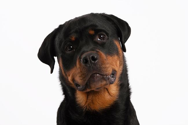Slim Rottweiler dog head shot on white background horizontal