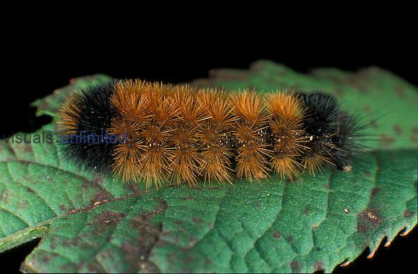 Wooly Bear caterpillar ,Pyrrharctia isabella,