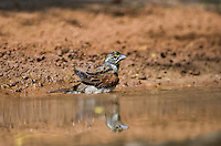 516500021 a wild male dicksissel spiza americana bathes in a small pond in the rio grande valley in south texas