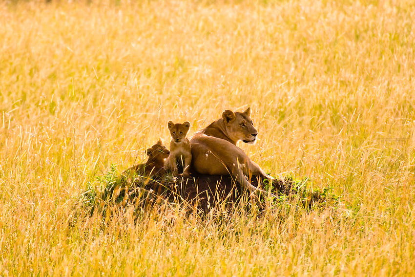 A mother lion and her cubs atop a mound, Masai Mara National Reserve, Kenya