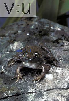 Mutant Bullfrog (Rana catesbeiana) with six functional legs, two on one side and four on the other.