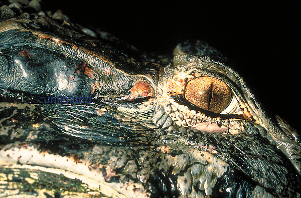 The eye of an adult black caiman (Melanosuchus niger). The flat, matte oval directly behind the eye is the external membrane of the caiman's ear. Amazonas, Brazil