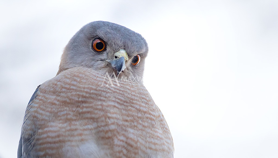The Shikra, or Little-banded goshawk is frequently seen in some of India's tiger parks.