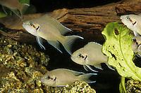 Tanganjikasee-Feenbarsch, Feenbarsch,Gabelschwanzbuntbarsch, Prinzessin von Burundi, Brichardis Grundbarsch, Feenbuntbarsch, Feen-Buntbarsch, Neolamprologus brichardi, Lamprologus brichardi, Neolamprologus elongatus , Princess cichlid, Princess of Burundi, Lyretail cichlid, Fairy cichlid, Brichard's Lamprologus, Princesse du Burundi