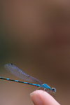 Young girl ( 11 years old) with damselfly on her finger Lake Pleasant Bothell Washington State USA
