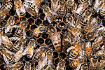 New Zealand Queen on cells in hive, surrounded by workers, Honey Bee, Apis mellifera, Kent UK, honecomb, tending cells