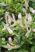 Clethra alnifolia 'Hummingbird' in flower in summer