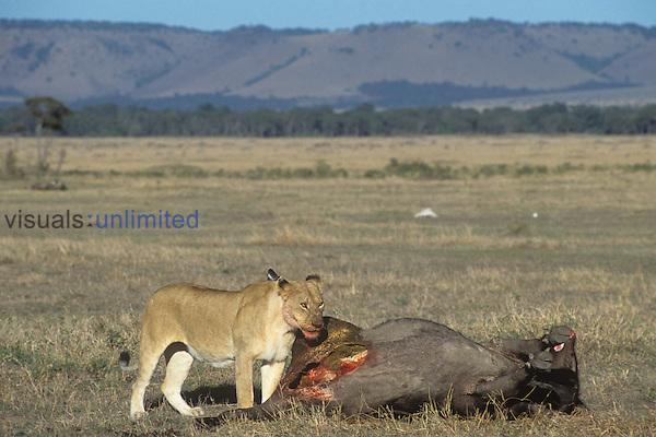 African Lion ,Panthera leo, eating African Buffalo prey ,Syncerus caffer,, Masai Mara, Kenya, Africa.