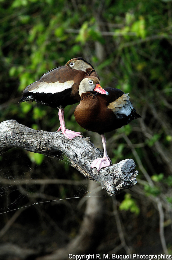 Black-bellied Whistling-Ducks Perched on a dead limb