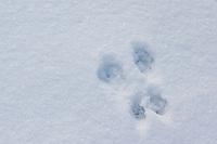 Eichhörnchen Spur, Trittsiegel im Schnee, Sciurus vulgaris, European red squirrel