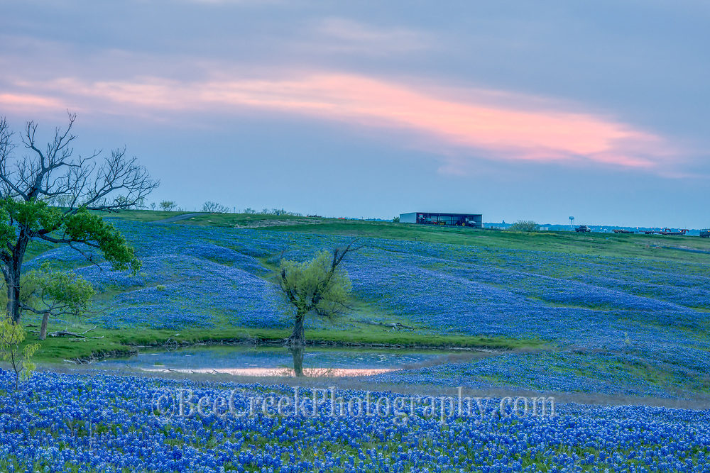 Caputured this up near Ennis of this ranch covered in a wonderful bluebonnet landscape just as the sun was setting with just a bit of color in the sky.