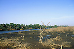 The Gambia. Salt marsh with dead and dying shrubs.