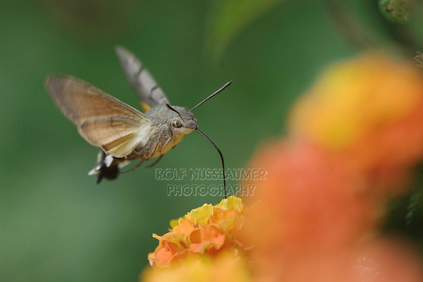 Hummingbird Hawk-moth, Macroglossum stellatarum, adult in flight drinking from lantana, Oberaegeri, Switzerland, Europe