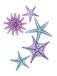 X-ray image of prickly sea stars (cool colors on white) by Jim Wehtje, specialist in x-ray art and design images.