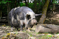 Kunekune sow, Lancashire, England.