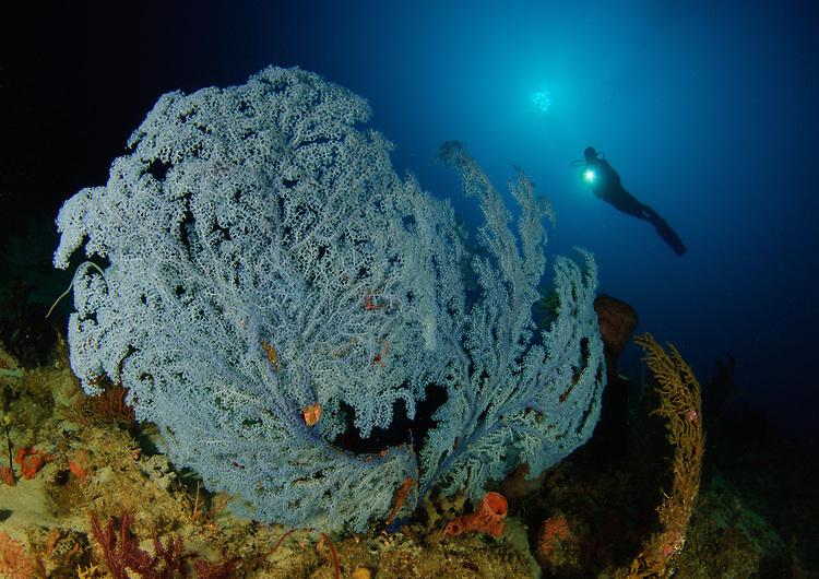a very rare Blue Sea Fan, Acanthogorgia sp., found below 45 metres depth, with diver, Gorontalo, Indonesia