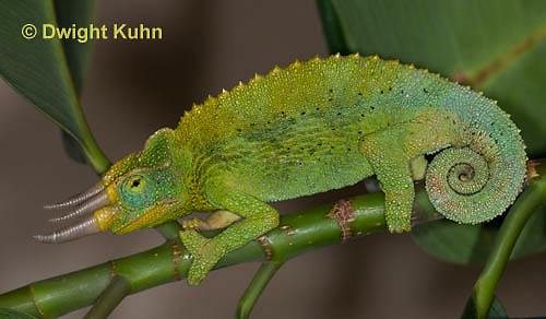 CH36-566z  Male Jackson's Chameleon or Three-horned Chameleon, Chamaeleo jacksonii