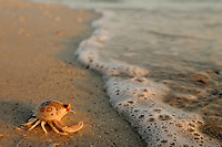 A leopard crab crawling along the beach at sunset.