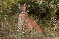 Siberian Lynx sitting just behind some leaves - CA