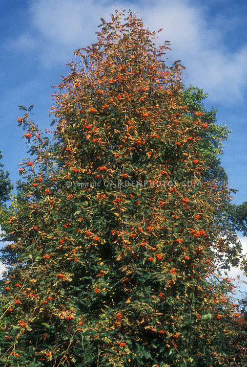 Sorbus aucuparia Sheerwater Seeding in red orange berries with blue sky and wispy clouds, showing most of tree