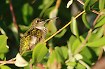 This ruby-throated hummingbird is just three inches long.