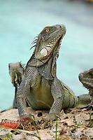 14 August 2007: The Green Iguana (Iguana iguana) is found throughout the island of Bonaire. Taken along the coral coastline at Captain Don's Habitat on the island of Bonaire, in the Netherland Antilles. ..Mandatory Photo Credit: Ed Wolfstein Photo