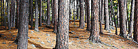 A stand of red pine trees (Pinnus resinosa ait.)(AKA norway pine) in Bear Head Lake State Park near Ely, Minnesota