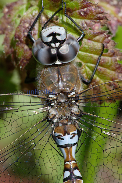 Male California Darner (Aeshna californiac), close-up of head and thorax showing compound eyes and wings.