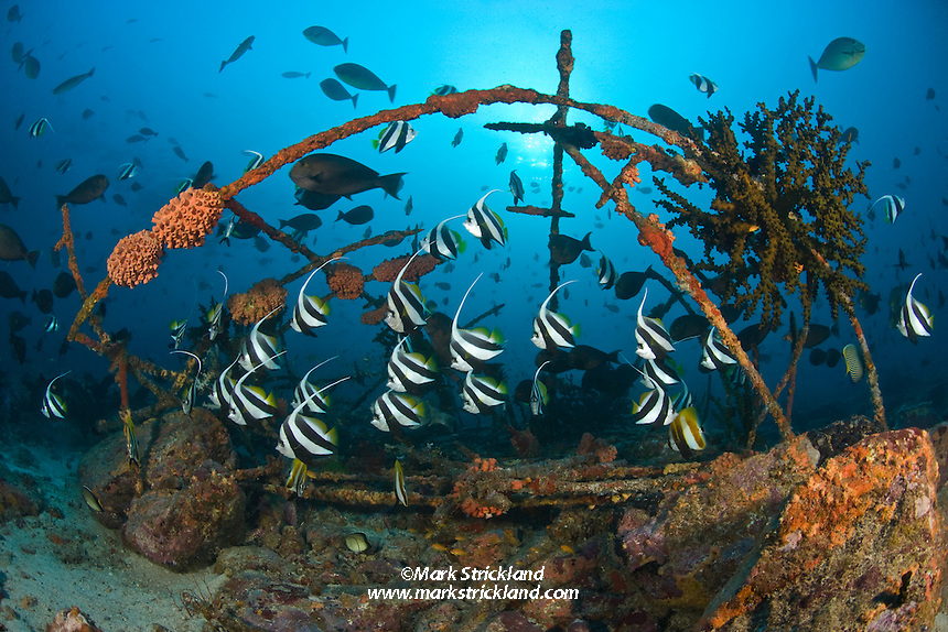 Schooling Bannerfish, Heniochus diphreutes, gather around what appears to be framework from a boat's awning. Judging by the healthy colonies of orange and green Tubastraea coral, it has been submerged for quite some time, and now serves as an artificial reef. Fish Rock, Andaman Islands, Andaman Sea, Bay of Bengal, Indian Ocean