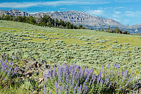 Lupines blooming during summer in the Absaroka Mountains in Wyoming