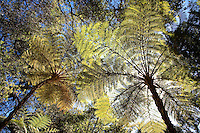 Looking up at tree ferns back lit, Lotusland California