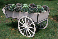 Cabbage Harvest in farm wagon with pretty wheel for display of vegetables in autumn
