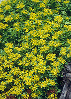 Sedum (Phedimus) takesimensis Golden Carpet groundcover plant in yellow flowers for sunny garden site