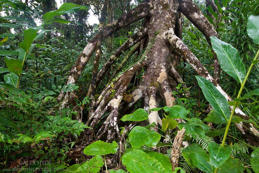 Tropcal rainforest, Masoala Peninsula National Park, north east Madagascar.