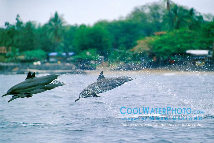 spinner dolphins jumping, Stenella longirostris, Kona, Big Island, Hawaii, Pacific Ocean