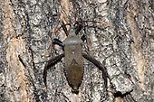 Leaf-footed Bug (Acanthocephala terminalis), Oklahoma, USA