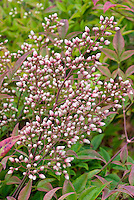 Nandina domestica Richmond in buds flower in spring before bloom