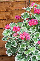 Pelargonium Catalina annual geranium with variegated white and green leaves