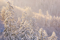 """GOLDEN TREES"" - Warm light at sunset paints a spruce and fir forest in golden hues after a snowstorm in Great Smoky Mountains National Park."