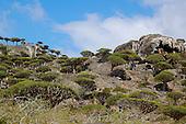 The Dragon Blood Tree forest (Dracaena cinnabari), Socotra, Yemen
