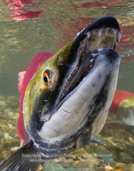 RY1039-Dv. Sockeye Salmon (Oncorhynchus nerka), close-up of male in spawning colors. When sockeye leave the sea and enter freshwater to begin their final journey upriver to spawn and die, they undergo dramatic change. Silver bodies become red and green and they stop feeding. In males the snout transforms into a hooked beak and their teeth lengthen to become fangs, useful in fighting other males for mates. Adams River, British Columbia, Canada. Cropped to vertical from native horizontal format.<br /> Photo Copyright &copy; Brandon Cole. All rights reserved worldwide.  www.brandoncole.com
