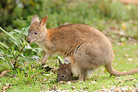 Red-necked Pademelon (Thylogale thetis) female with joey in pouch, Queensland, Australia