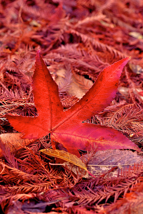 Fall carpet of fir needles and red Sweetgum (liquidambar styraciflua) leaf, Van Dusen Botanical Garden, Vancouver, BC.